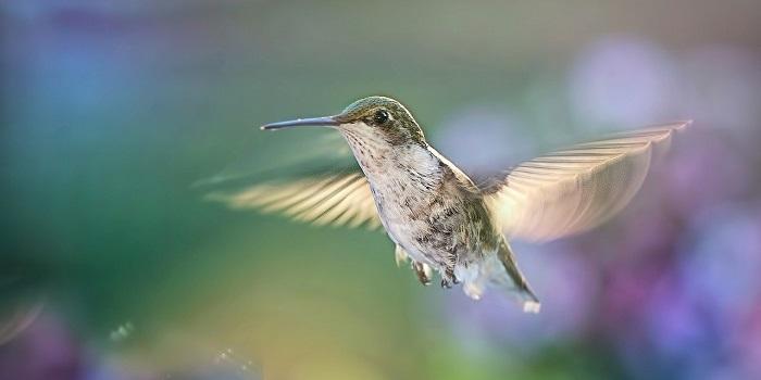 kolibrik_usa